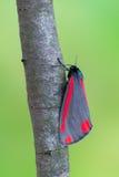 Cinnabar σκώρος - jacobaeae Tyria Στοκ φωτογραφία με δικαίωμα ελεύθερης χρήσης