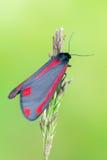 Cinnabar σκώρος - jacobaeae Tyria Στοκ φωτογραφίες με δικαίωμα ελεύθερης χρήσης