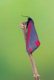 Cinnabar σκώρος - jacobaeae Tyria Στοκ εικόνες με δικαίωμα ελεύθερης χρήσης