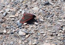 Cinnabar στήριξη jacobaeae σκώρων ή Tyria Στοκ φωτογραφία με δικαίωμα ελεύθερης χρήσης