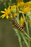 Cinnabar caterpillar Royalty Free Stock Photo