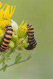 Cinnabar Caterpillar (Tyria jacobaeae) Royalty Free Stock Photo