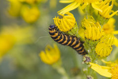 Cinnabar Caterpillar (Tyria jacobaeae) Royalty Free Stock Photography