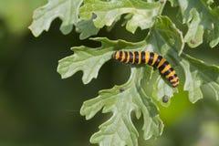 Cinnabar Caterpillar (Tyria jacobaeae) Royaltyfri Fotografi