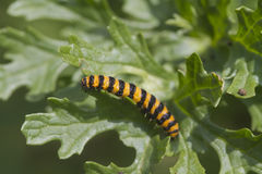 Cinnabar Caterpillar (Tyria jacobaeae) Stock Images