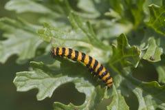Cinnabar Caterpillar (Tyria jacobaeae) Arkivbilder