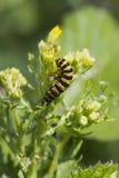 Cinnabar Caterpillar (Tyria jacobaeae) Fotografering för Bildbyråer