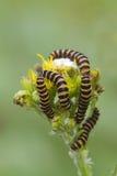 Cinnabar Caterpillar (Tyria jacobaeae) Arkivbild