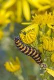 Cinnabar Caterpillar (Tyria jacobaeae) Royaltyfri Bild