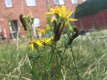Cinnabar jacobaeae του Caterpillar Tyria σε Ragwort Στοκ Φωτογραφίες