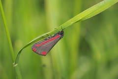 Cinnabar jacobaeae Tyria σκώρων Στοκ Φωτογραφίες