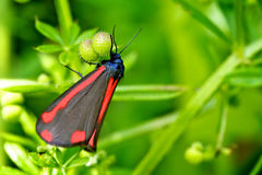 Cinnabar Moth. A red and black cinnabar moth Royalty Free Stock Images