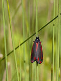 Cinnabar moth Royalty Free Stock Images