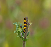 Cinnabar Moth caterpillar Royalty Free Stock Photos