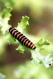 Cinnabar Moth Caterpillar. Royalty Free Stock Photography