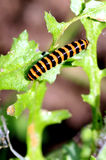 Cinnabar Moth Caterpillar. Stock Photo