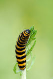 Cinnabar Moth caterpillar feeding on Ragwort Stock Photography
