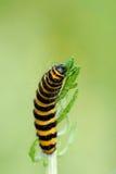 Cinnabar Moth caterpillar feeding on Ragwort. A hungry Cinnabar Moth caterpillar feeding on Ragwort in Oxfordshire Stock Photography
