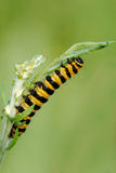 A Cinnabar Moth caterpillar feeding on Ragwort Royalty Free Stock Images