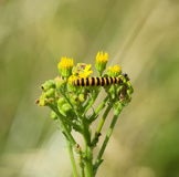 Cinnabar moth caterpillar on ragwort Royalty Free Stock Photography