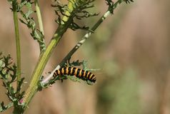 Cinnabar Moth Caterpillar (Tyria jacobaeae). This image shows the caterpillar of the cinnabar moth on it's food plant which is common ragwort. This picture was Royalty Free Stock Photography