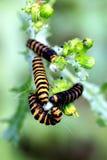 Cinnabar moth caterpillars. Stock Photos