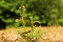 Cinnabar moth caterpillars Stock Image