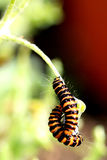 Cinnabar Moth Caterpillars. Royalty Free Stock Images