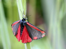 Cinnabar Moth Stock Photo