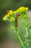 Cinnabar moth on Ragwort Royalty Free Stock Images