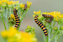Cinnabar moth on Ragwort Stock Photography