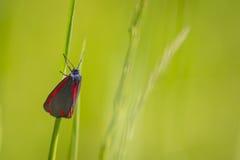 Cinnabar moth Stock Photos