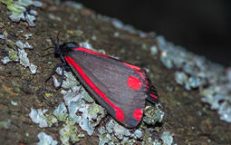 Cinnabar Moth Royalty Free Stock Photography