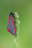 Cinnabar moth - Tyria jacobaeae Stock Photo