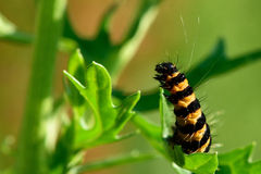 The cinnabar moth (Tyria jacobaeae) caterpillar on ragwort Royalty Free Stock Photography