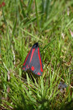 Cinnabar moth Stock Image