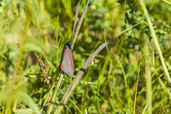 Cinnabar moth Royalty Free Stock Photo