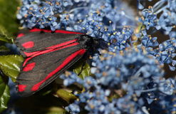 Cinnabar moth. Stock Images
