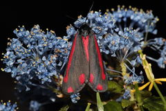 Cinnabar moth. Stock Photo