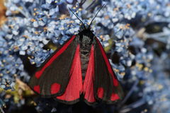 Cinnabar moth. Royalty Free Stock Image