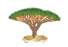 Cinnabari Dracaena, έγχρωμη εικονογράφηση διανυσματική απεικόνιση