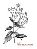 Cinnamomum, botanical vintage engraving. Vintage engraving of Cinnamomum, an evergreen aromatic tree or shrub with glossy leaves. A spice Cinnamon is obtained Royalty Free Stock Photography
