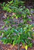 Cinnamomum Camphora Stock Photography