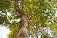 Cinnamomum camphora dell'albero Immagini Stock Libere da Diritti