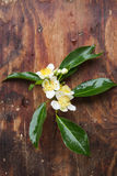 Cinnamomum camphora flower Stock Photos