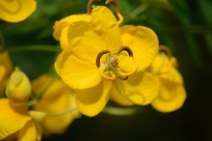 Golden shower tree  Stock Photos