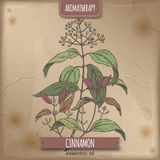 Cinnamomum verum aka cinnamon vintage color sketch. Placed on old paper background. Aromatherapy series. Great for traditional medicine, perfume design Royalty Free Stock Image