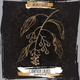 Cinnamomumcamphoraaka camphorwood eller kamferlagerfilialen skissar på svart bakgrund Royaltyfri Bild