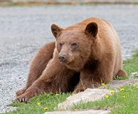 Cinnamon American Black Bear Stock Photography