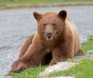 Cinnamon American Black Bear Stock Image